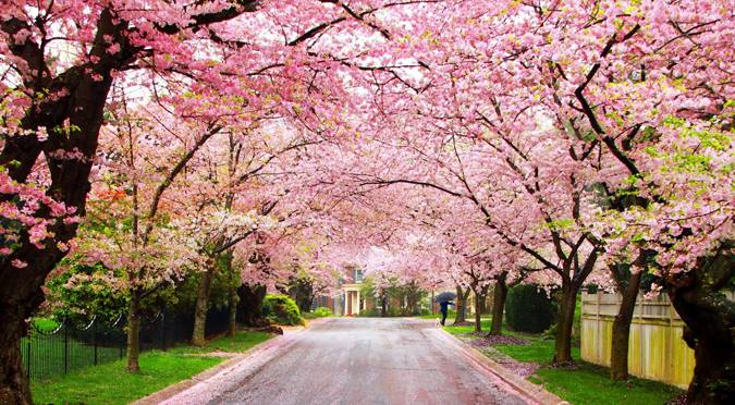 india's first cherry blossom festival