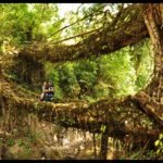 Living bridges