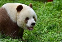 world's only brown panda