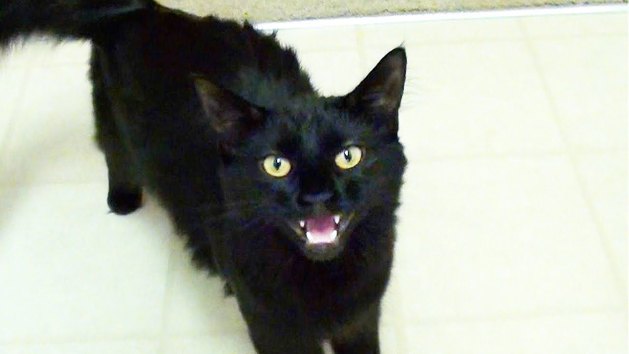 black cat crosses way