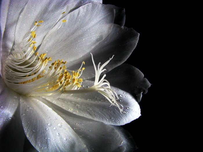 The mystical flower of Lord Brahma
