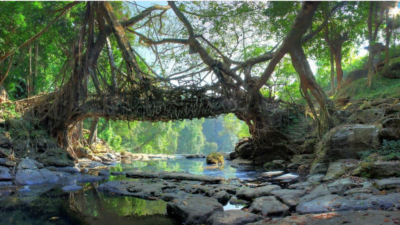Living root bridge--Procaffenation