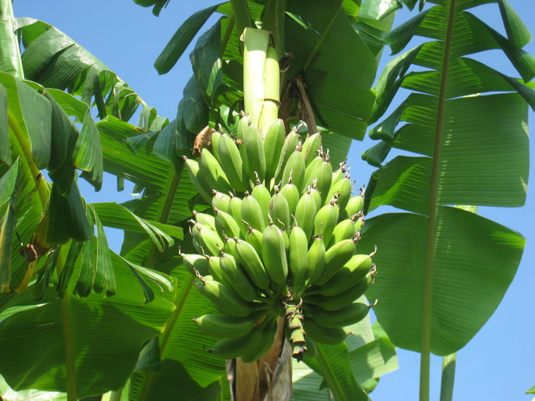 bananas curved upwards