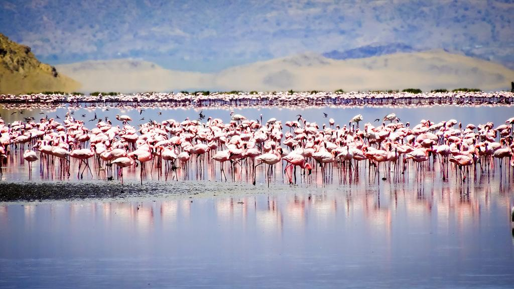 The pink parade in the barren wetland